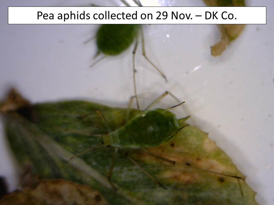 pea-aphid-29-nov