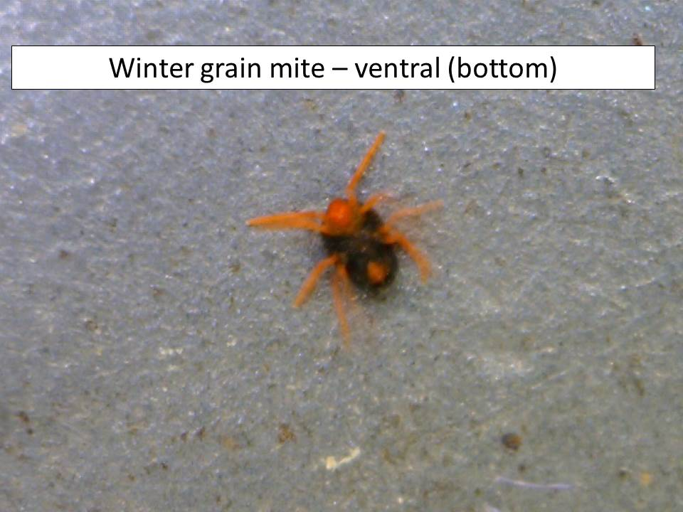 winter-grain-mite-2