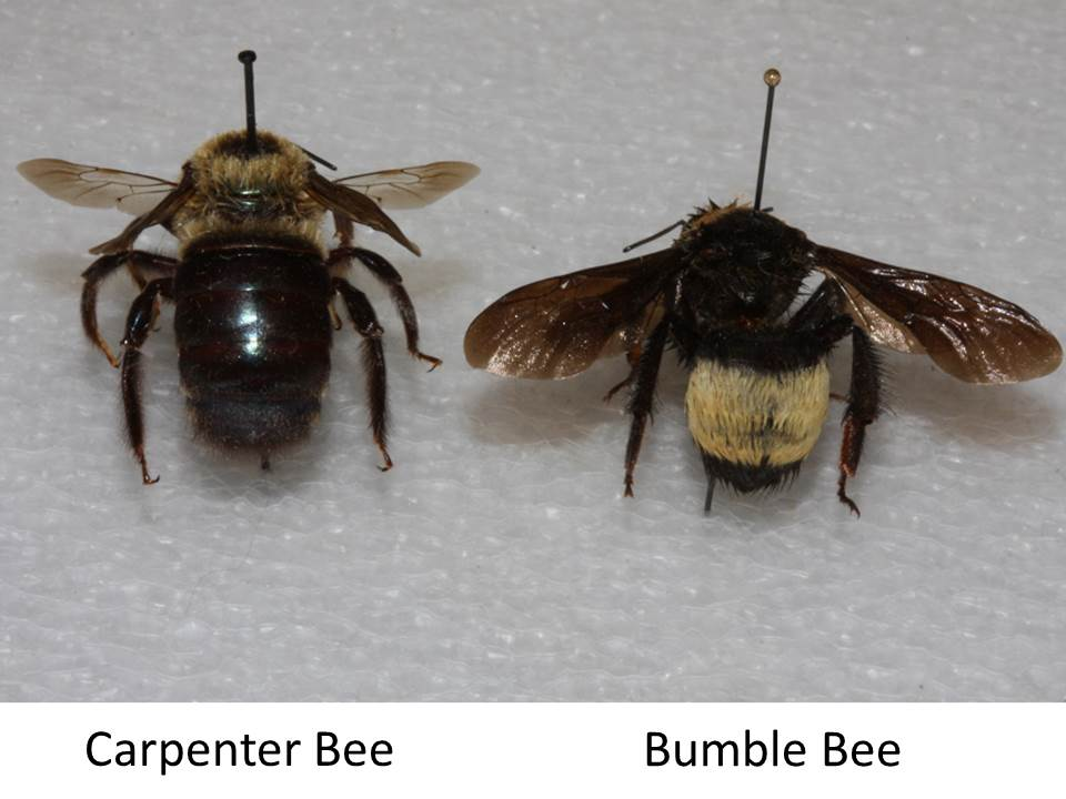 mistaken for bumble bees carpenter bees bare abdomens