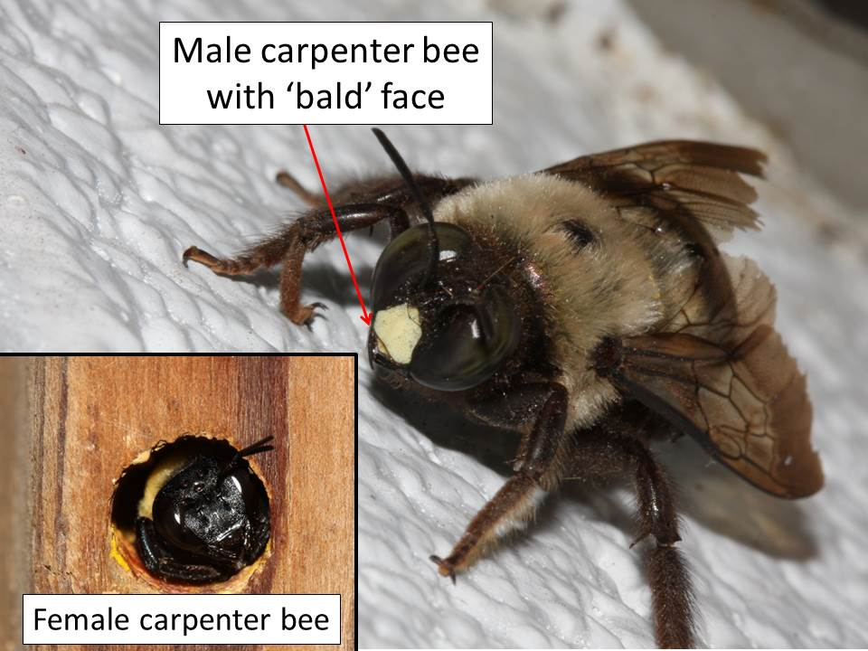 mistaken for bumble bees; carpenter bees; bare abdomens ...