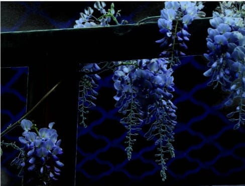 The Waltz of the Wisterian Night or The Waltz of Wisteria's Velvet: A.D. May 14, 2019