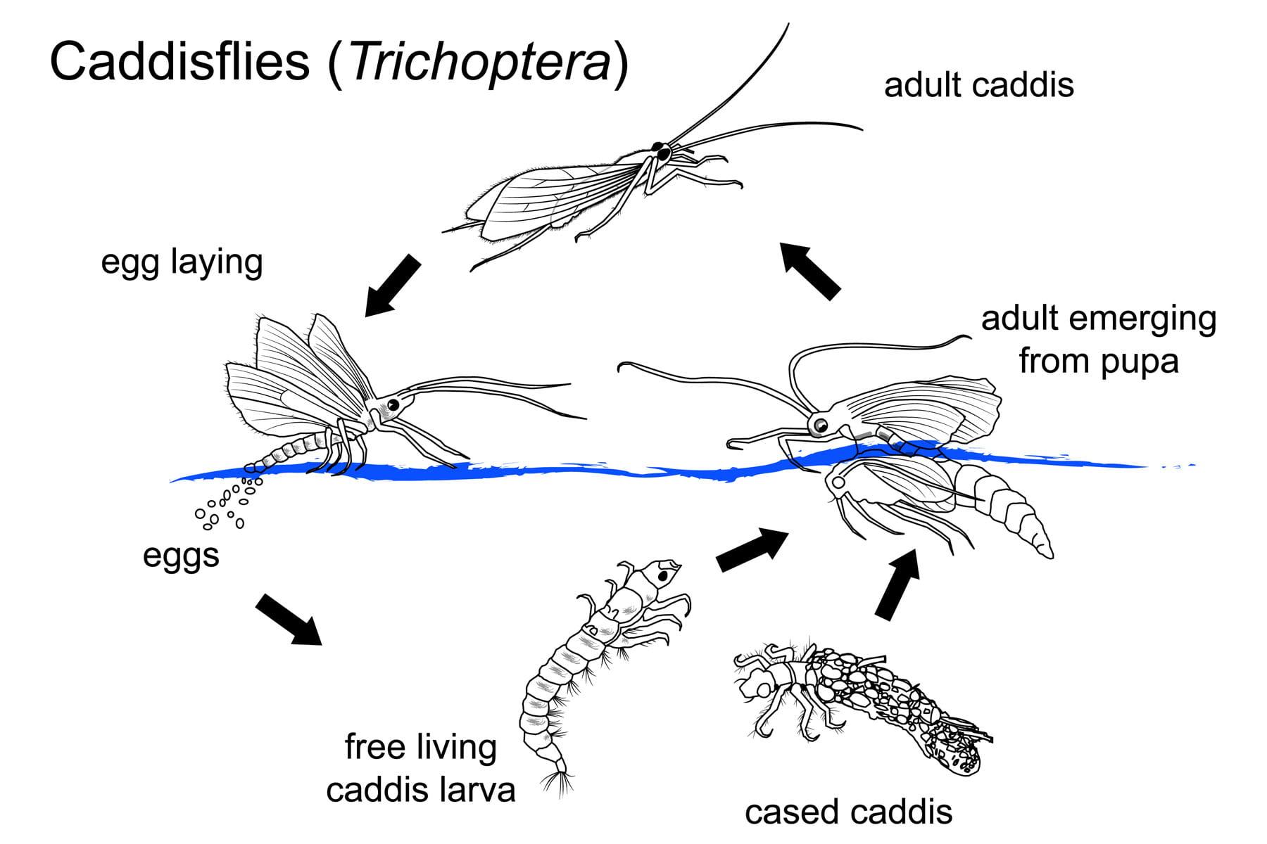 caddisfly life cycle  u0026 harvesting time