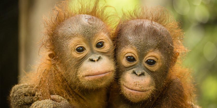 Illegal Pet Trade | SOS: Save The Orangutans