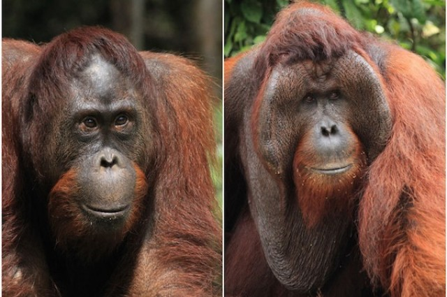 Orangutan Biology Sos Save The Orangutans