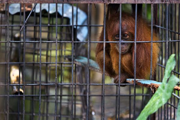 Illegal Pet Trade Sos Save The Orangutans