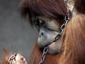 Source: World Orangutan Events