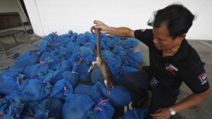 Dead pangolins seized by Thai officials
