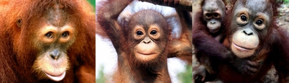 Orangutans in Borneo and Sumatra