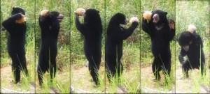 diet the endangerment of the malayan sun bear