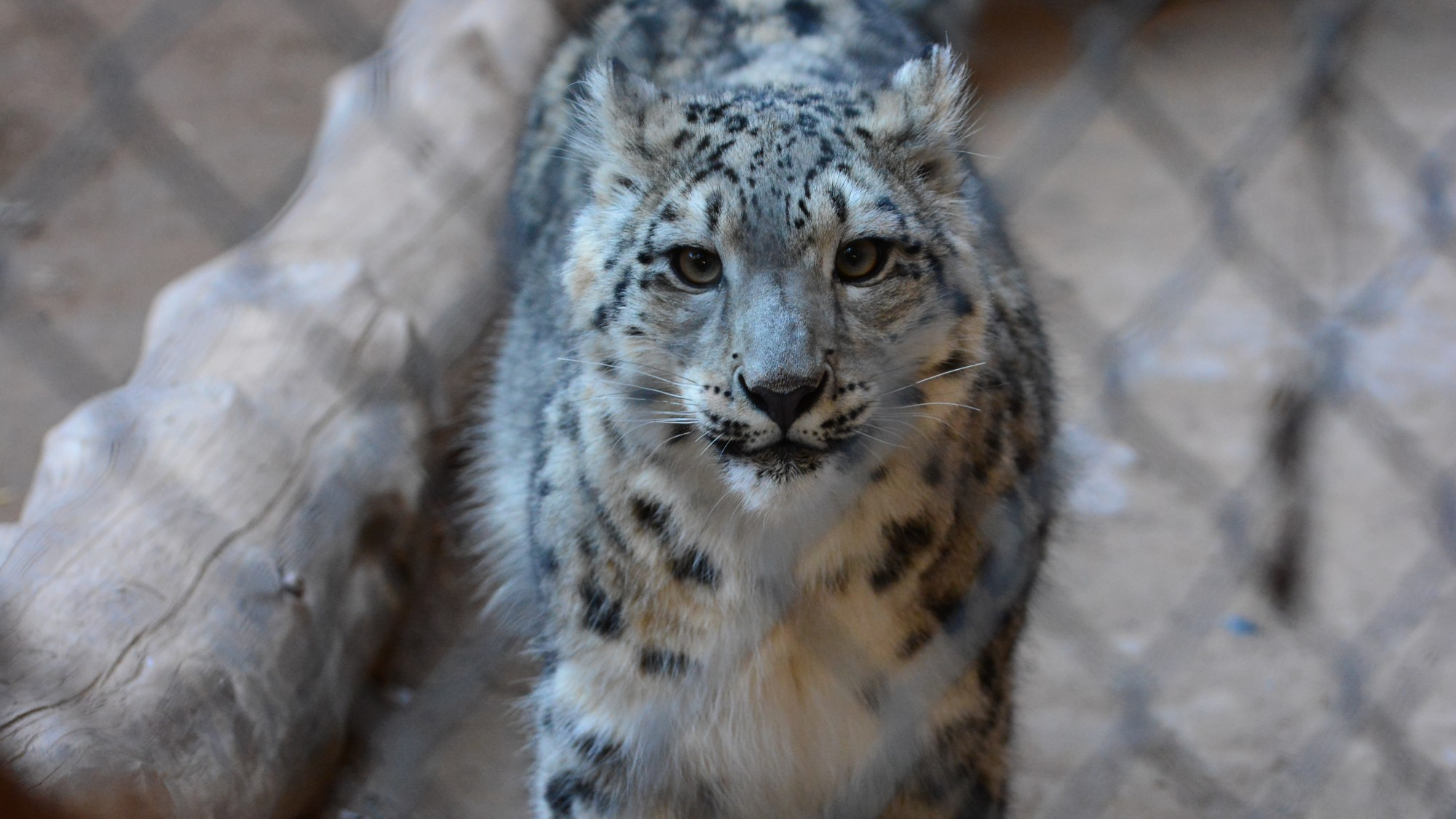 Snow Leopards In Asia