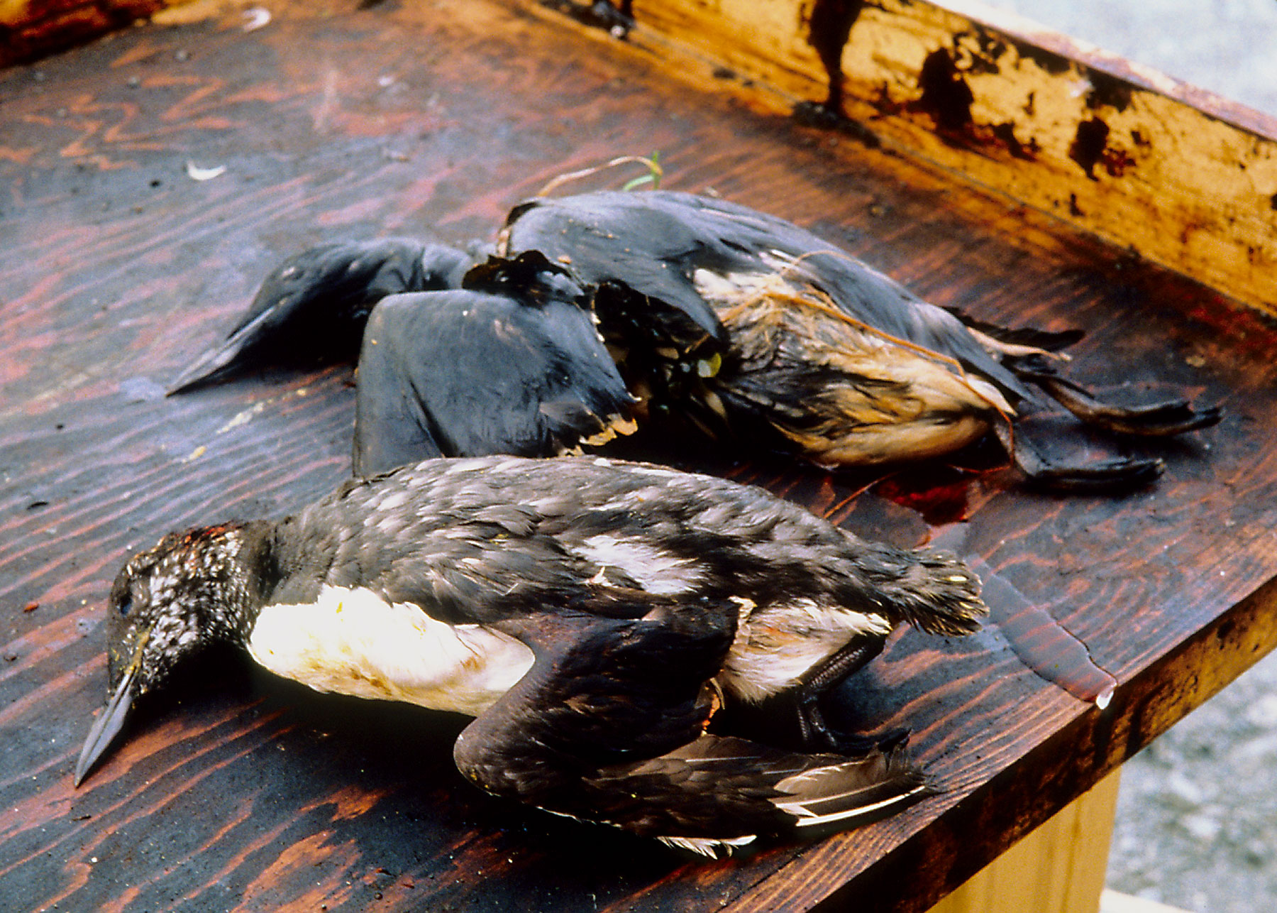 how oil spills in water bodies causes catastrophic losses of human and marine life The deepwater horizon oil spill it was reported that dolphins and other marine life continued to die found that the toxins from oil spills can cause irregular.