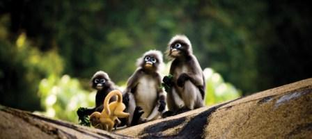 Spectacled Langur Family