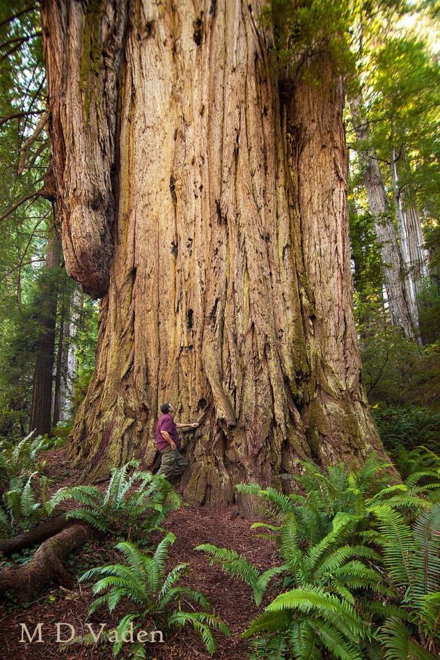 coastr redwoods 2