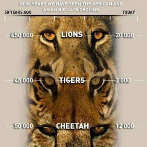The population decline of the big cats worldwide due to trophy hunting. Image from: http://corumana.wordpress.com/2012/08/21/stop-trophy-hunting/