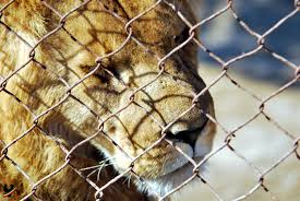 A captive lion. Image from: https://www.flickr.com/photos/jooya/favorites/with/3966913594/#photo_3966913594