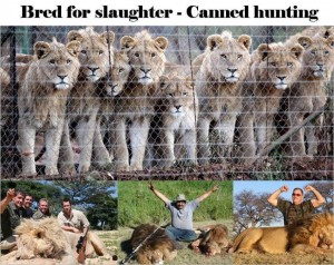 A poster against Canned Hunting of Lions. Image from: http://endtrophyhuntingnow.com/2014/02/15/sa-safari-hunting-ops/