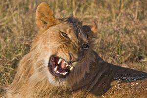 A picture of a adolescent lion. Image source.