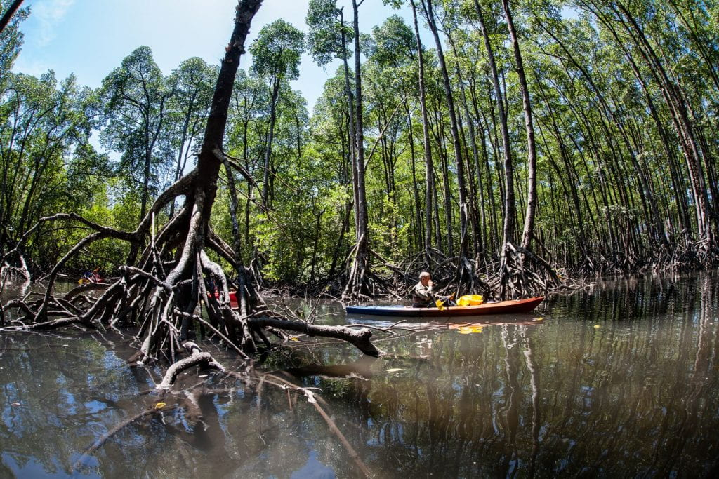 Accelerating sea level rise could drown mangroves 30 years from now unless carbon emissions are cut