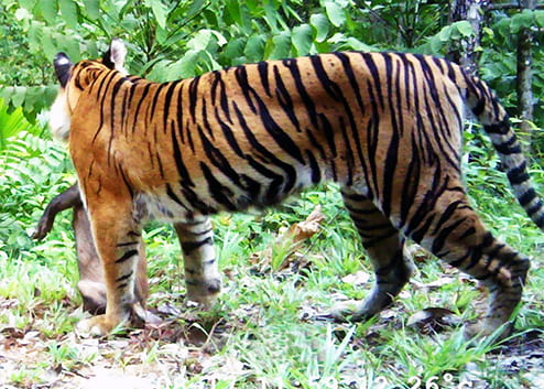 Human-tiger conflicts in Sumatra – using data modeling to tailor management response