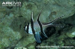 Banggai cardinalfish. Source: Arkive.org