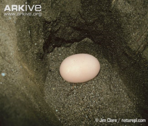 Maleo egg in nest. Source: Arkive.org