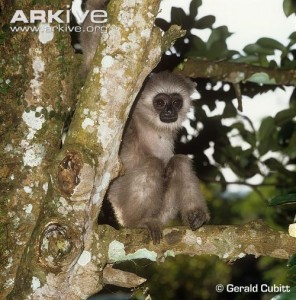 A mammal, Javan Gibbon, found exclusively in Indonesia.