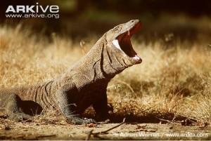 Komodo dragon gaping