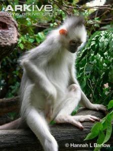 Mitred leaf monkey with grey pelage.