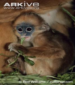 Young mitred leaf monkey feeding.