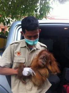 Baby orangutan rescued from illegal pet trade in Sumatra.