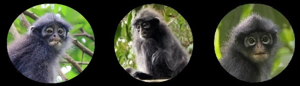 Banded Leaf Monkey