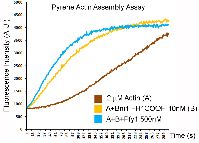Pyrene actin assay