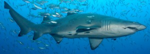 The endangered Grey Nurse Shark