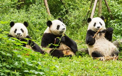 Count on us, pandas