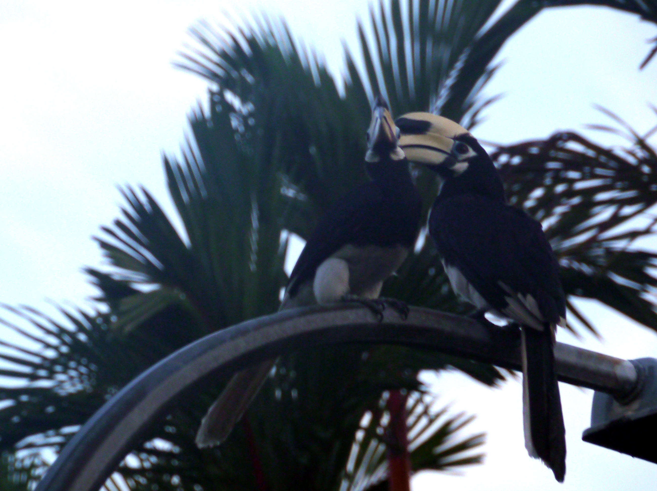 Hornbills_P1080598n