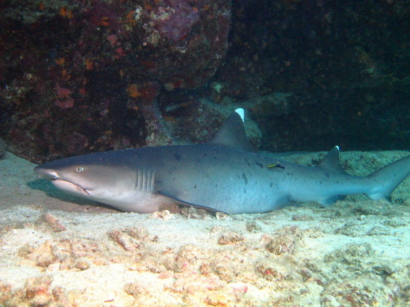 species spotlight fish sharks and rays save the reef what seems like a dangerous job for this small cleaner wrasse is actually a common occurrence