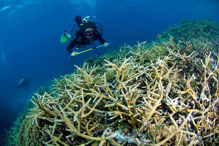 Photographer Dano Pendygrasse photographs healthyreefs.org's Ian Drysdale inspecting a bed of Staghorn hard corals. (Pendygrasse, n.d.) (Click to Enlarge)