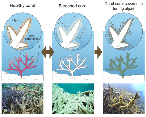 A simple graphic explaining coral bleaching. (http://mission-blue.org/2014/05/art-brings-the-coral-reef-crisis-above-the-surface/)