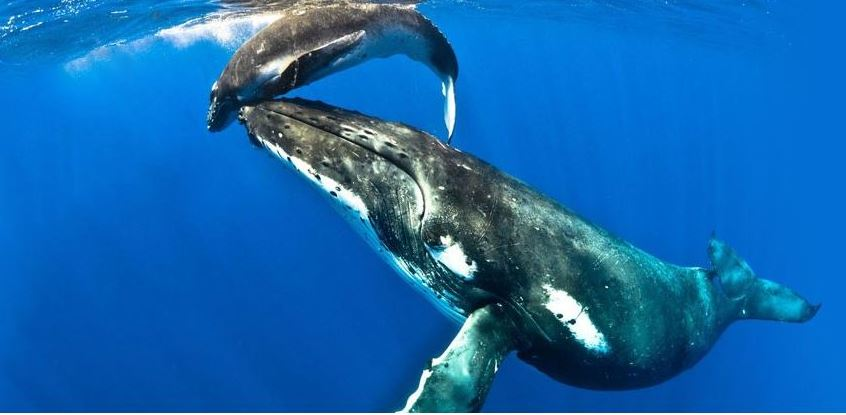 A Humpback Whale mother plays with its calf (Great Barrier Reef Liveaboards, n.d.)