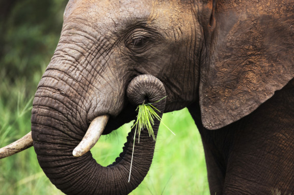 Diet  Conservation Of Asian Elephants In Southeast Asia-3036