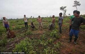 Juvenile-Indonesian-poachers-about-to-kill-the-orangutans