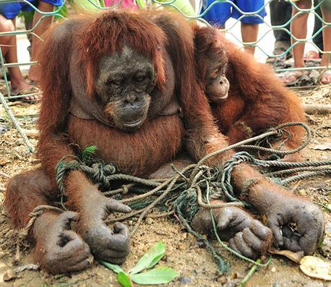 Poaching | SAVE THE ORANGUTANS!