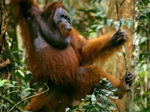 orangutan_651_600x450
