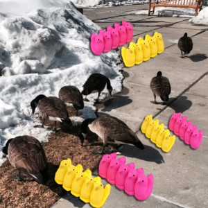 Geese and peeps