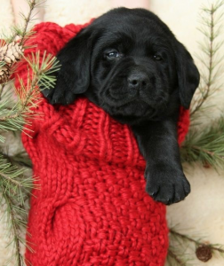 small black puppy in a Christmas stocking