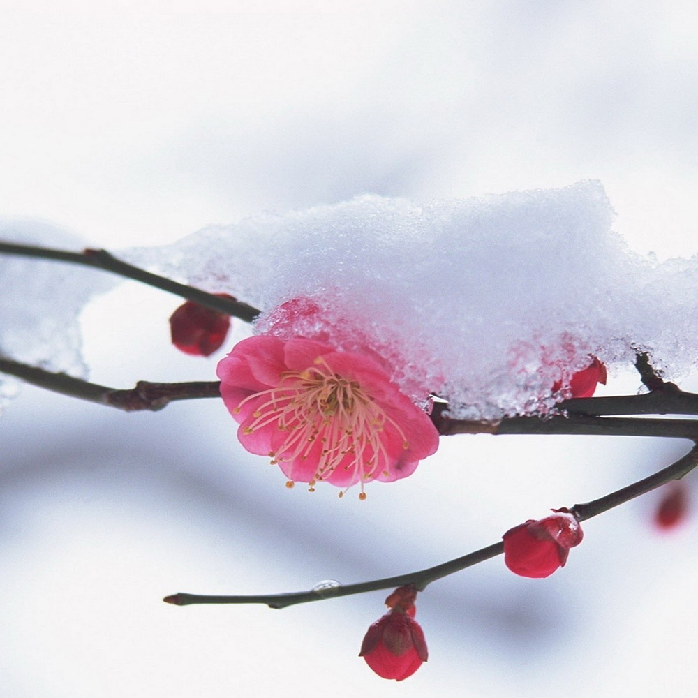 snowy branch with pink flower