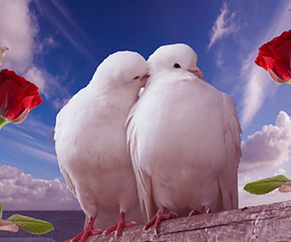 doves kissing