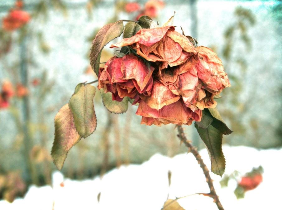 wilted roses against a snowy backdrop