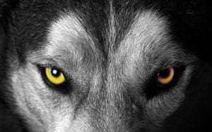 Wolf with yellow eyes staring down its prey