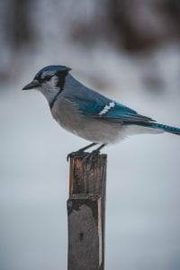 A bluebird standing on a wooden post in a wintery day